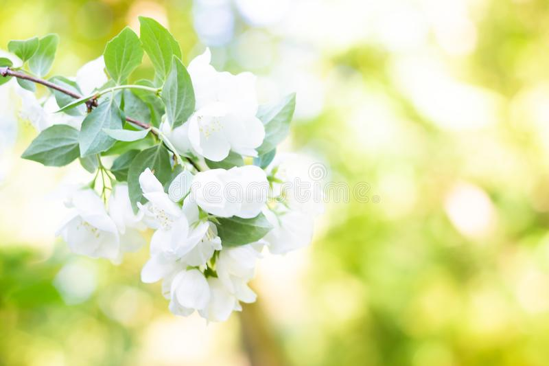 Spring background art with white apple blossom. Beautiful nature scene with blooming tree and sun flare. Sunny day. Spring flowers stock photo