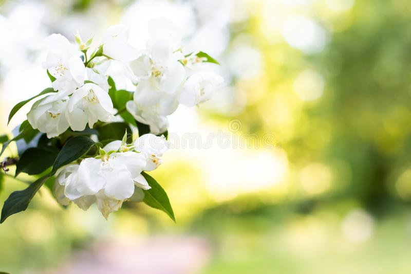 Spring background art with white apple blossom. Beautiful nature scene with blooming tree and sun flare. Sunny day. Spring flowers. Abstract blurred background stock images