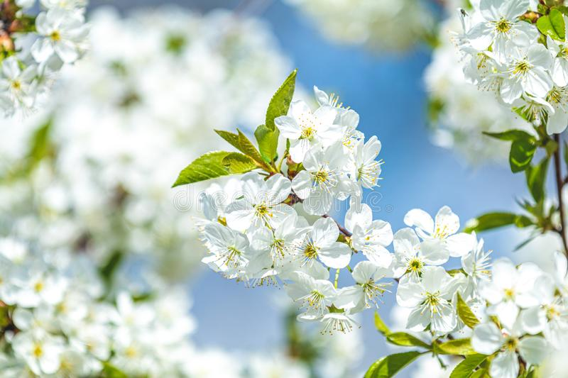 Beautiful nature scene with blooming tree and sun flare stock photo