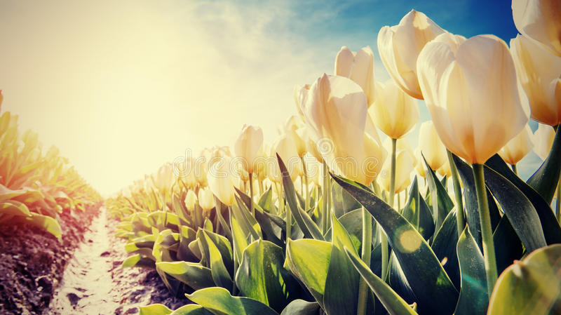 Spring background with beautiful yellow tulips royalty free stock photo