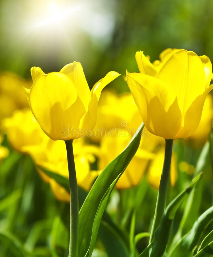 Download Spring Background With Beautiful Yellow Tulips Stock Photo - Image of field, florist: 49561160