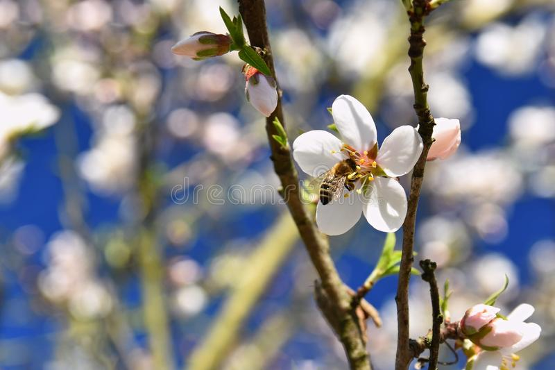 Spring background. Beautifully blossoming tree with a bee. Flower in nature. royalty free stock photo