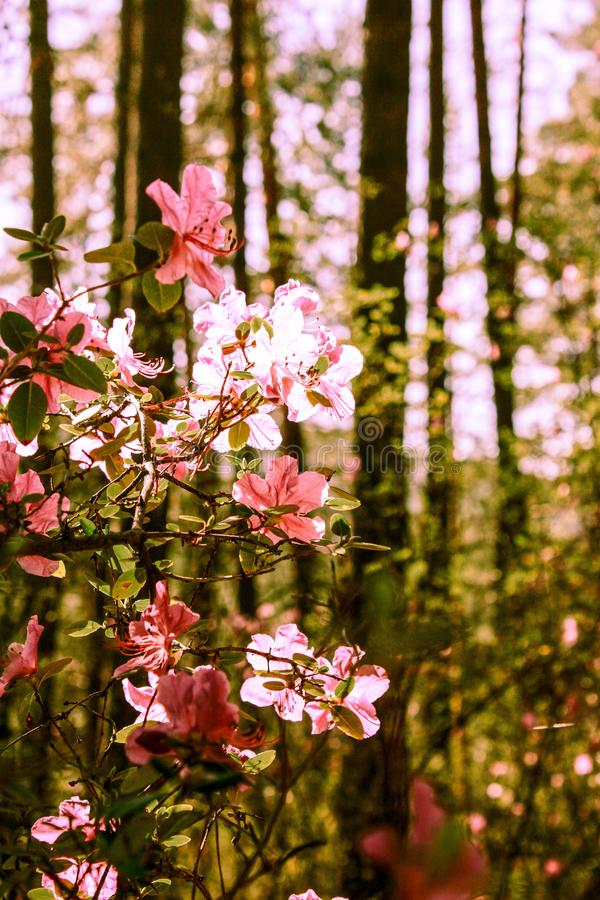 Spring background of blooming flowers. White and pink flowers. Beautiful nature scene with a flowering tree. Spring flowers. royalty free stock photo