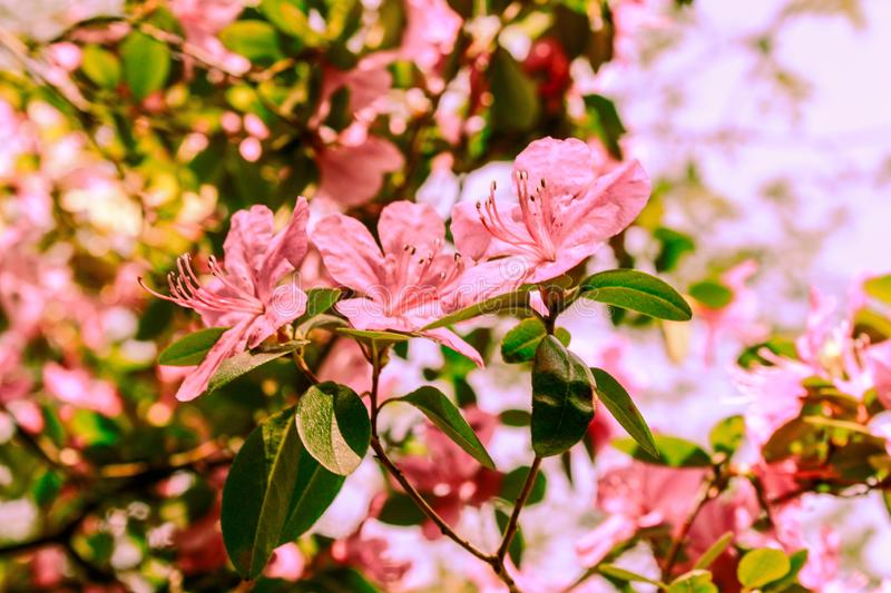 Spring background of blooming flowers. White and pink flowers. Beautiful nature scene with a flowering tree. Spring flowers. stock images