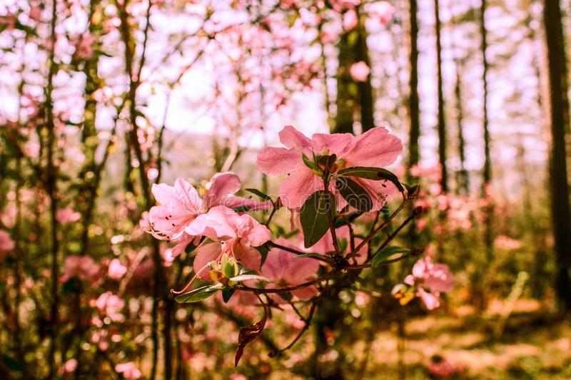 Spring background of blooming flowers. White and pink flowers. Beautiful nature scene with a flowering tree. Spring flowers. royalty free stock photography
