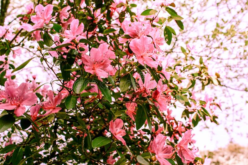 Spring background of blooming flowers. White and pink flowers. Beautiful nature scene with a flowering tree. Spring flowers. royalty free stock images