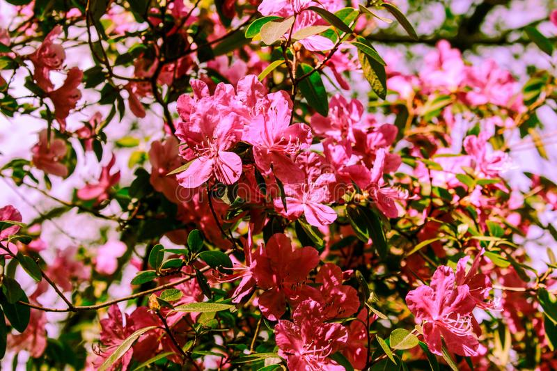 Spring background of blooming flowers. White and pink flowers. Beautiful nature scene with a flowering tree. Spring flowers. stock image