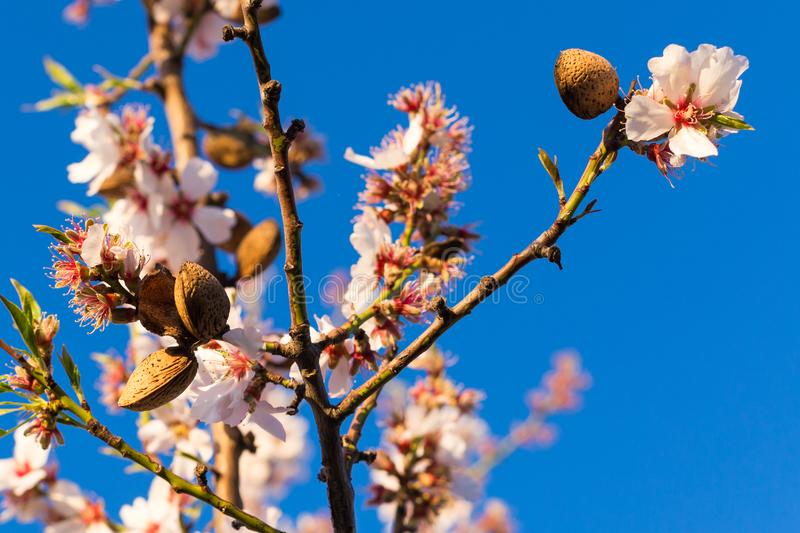 Spring background blooms. A branch of blossoming almond with nuts and flowers against the blue sky royalty free stock photo