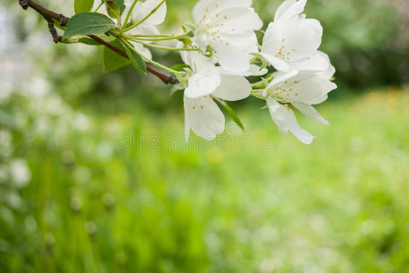 Spring background with branch of white blooming apple tree and blurred green grass background. royalty free stock photography