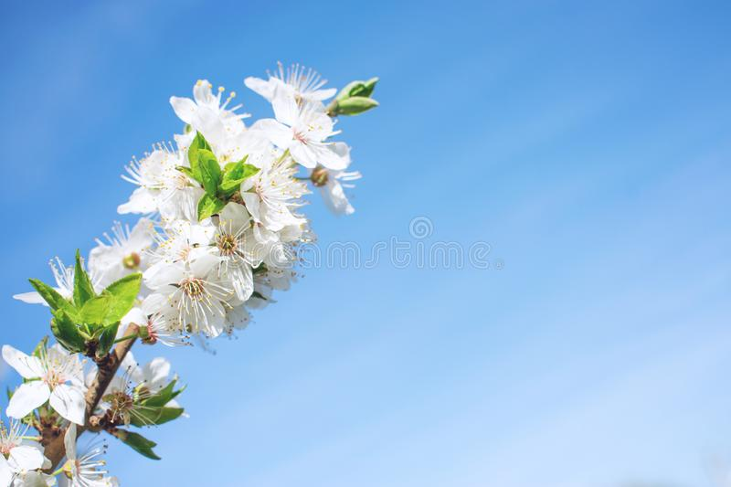 Spring background. Cherry Blossom trees, white Sakura flowers and green leaves on blue sky background royalty free stock photos