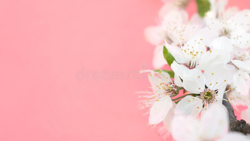 Spring background. Cherry Blossom trees, white Sakura flowers and green leaves on coral pink background. Easter greeting card stock images