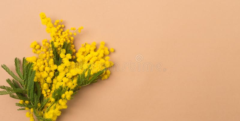 Spring background composition with Mimosa flowers. Mimosa on beige background, concept of spring season. symbol of 8 stock photo