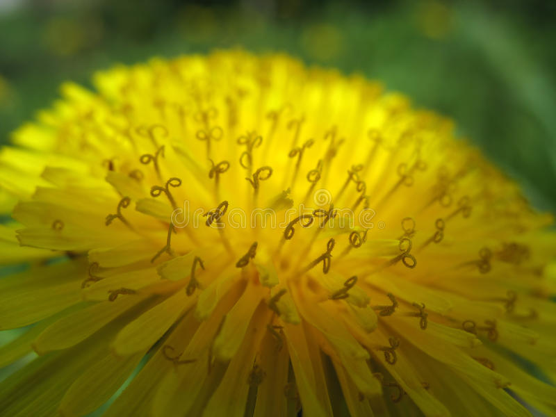 Spring background-dandelion stamens stock photo