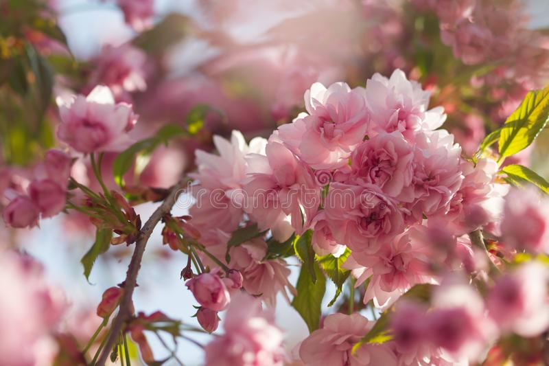 Spring background with flowering Japanese oriental cherry sakura blossom pink buds with soft sunlight soft focus royalty free stock images