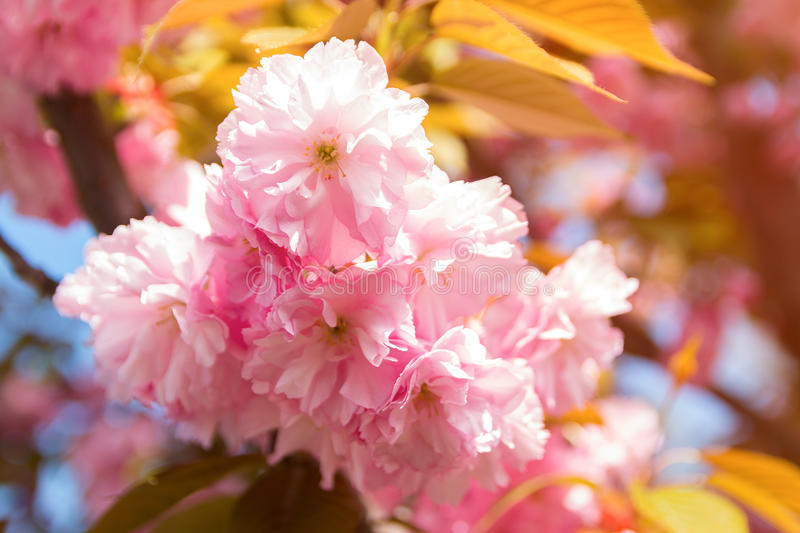 Spring background with flowering Japanese oriental cherry sakura blossom, pink buds with soft sunlight, soft focus stock photo