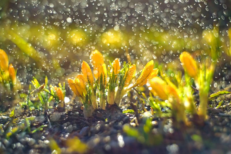 Spring background with Flowering yellow Crocus in Early Spring. Crocus Iridaceae . Iris family stock photography