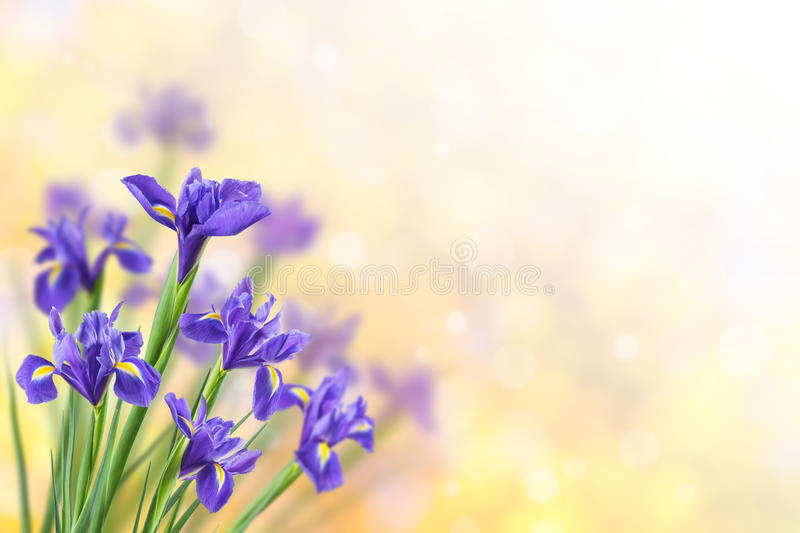 Spring Background with Iris. Spring nature background with beautiful iris flowers royalty free stock images