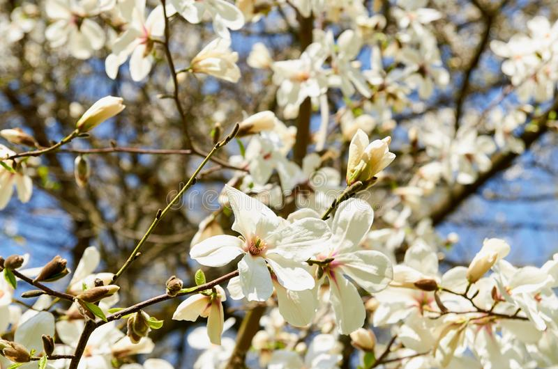 Spring background; blooming magnolia flowers on blurred nature background stock image