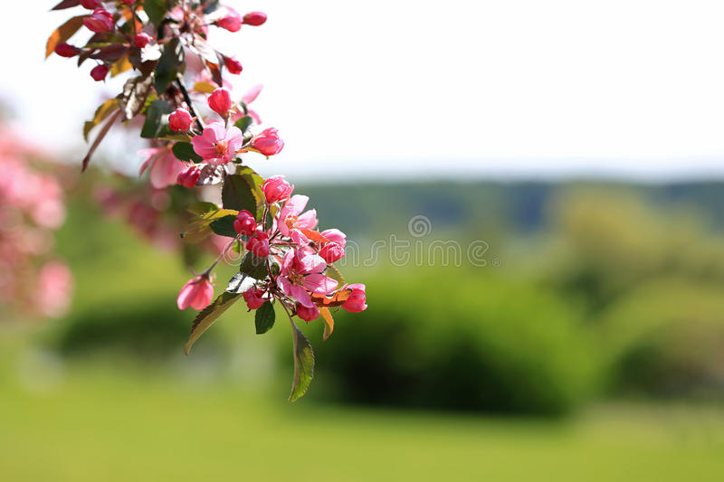 Spring Background with Pink Apple Tree Flowers royalty free stock photo