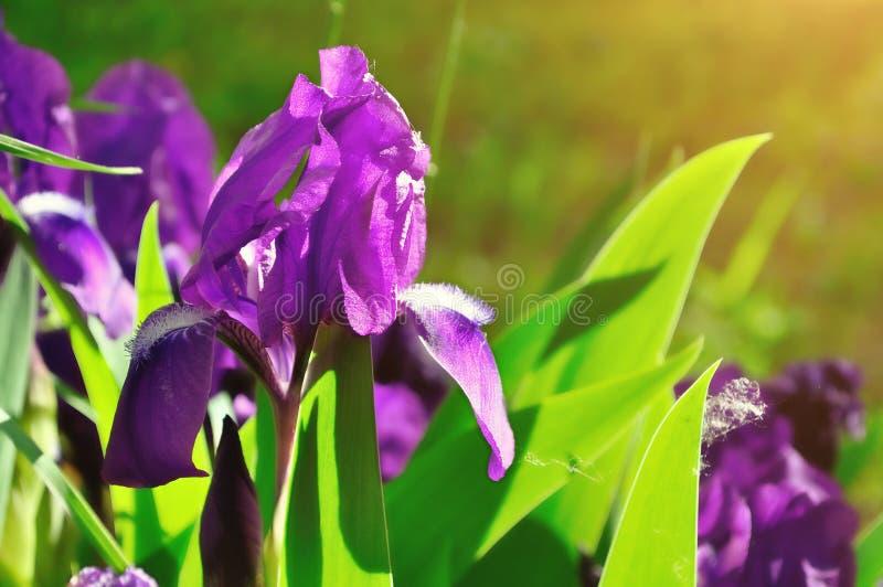Spring background. Purple spring iris flower under sunlight royalty free stock image