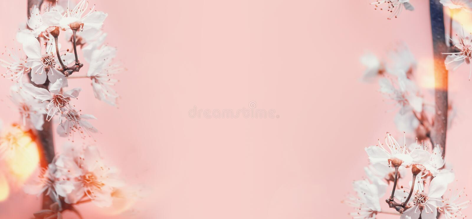 Spring background with white cherry blossom at pastel pink background with sunny bokeh royalty free stock image