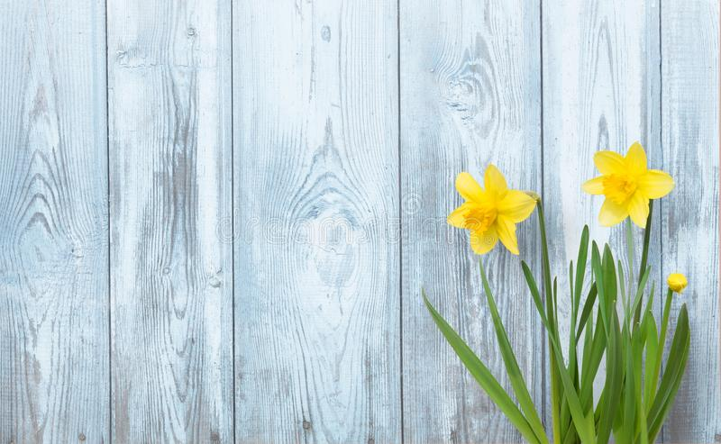 Spring background with Yellow daffodils flowers royalty free stock photo