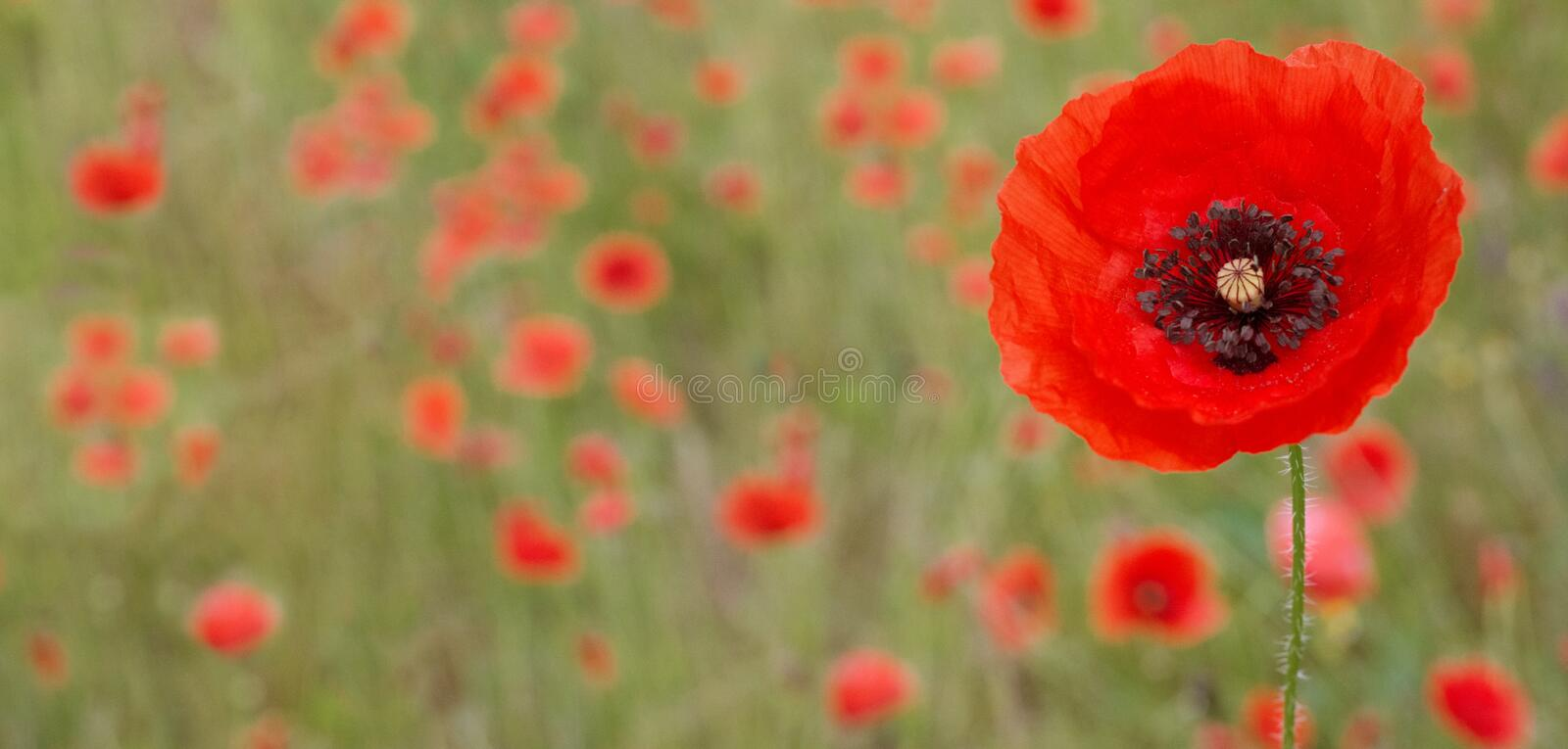 SPRING BACKGROUNDS. SINGLE RED POPPY  FLOWER ON NATURAL GREEN FIELD.  royalty free stock photos