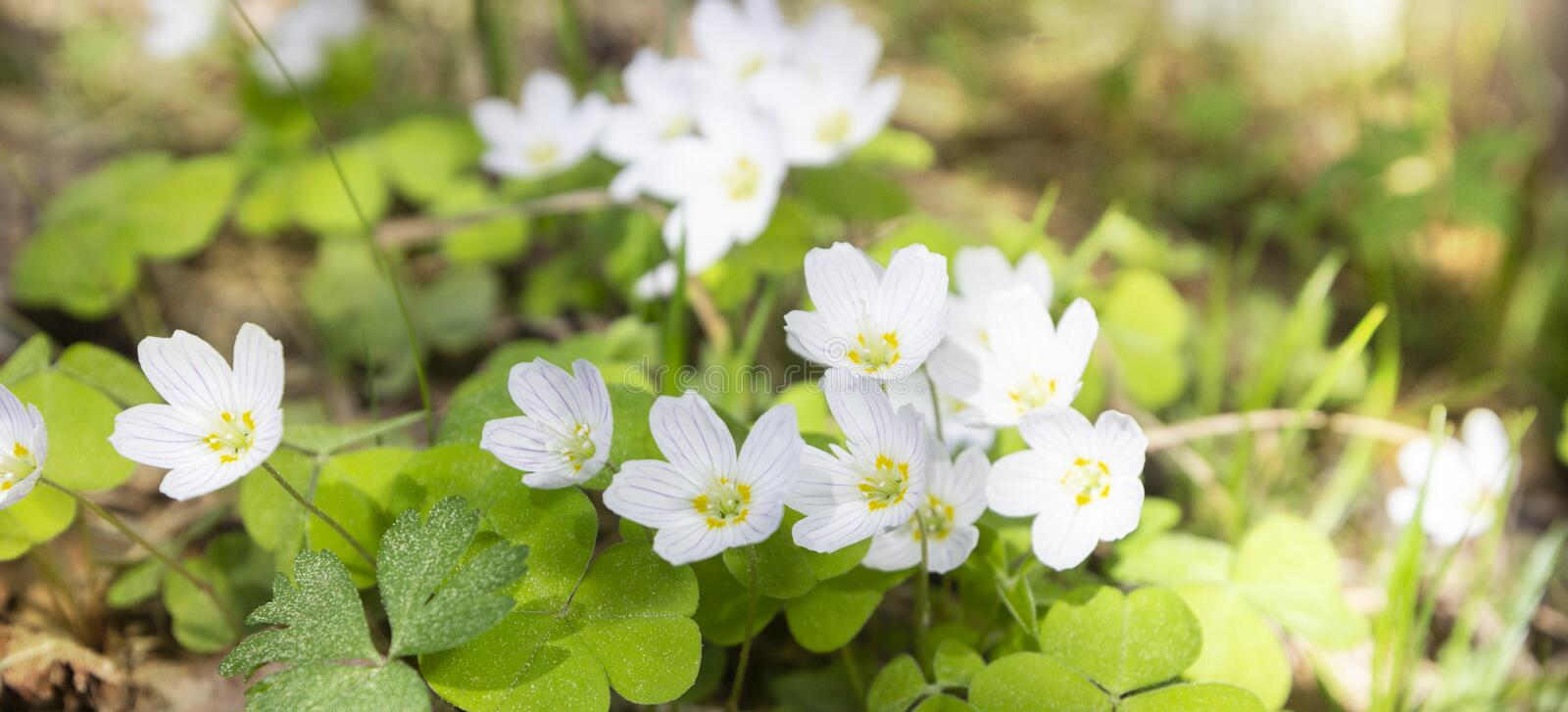 Spring banner with snowdrops, first early flowers in forest in early morning in sunshine.  royalty free stock photo