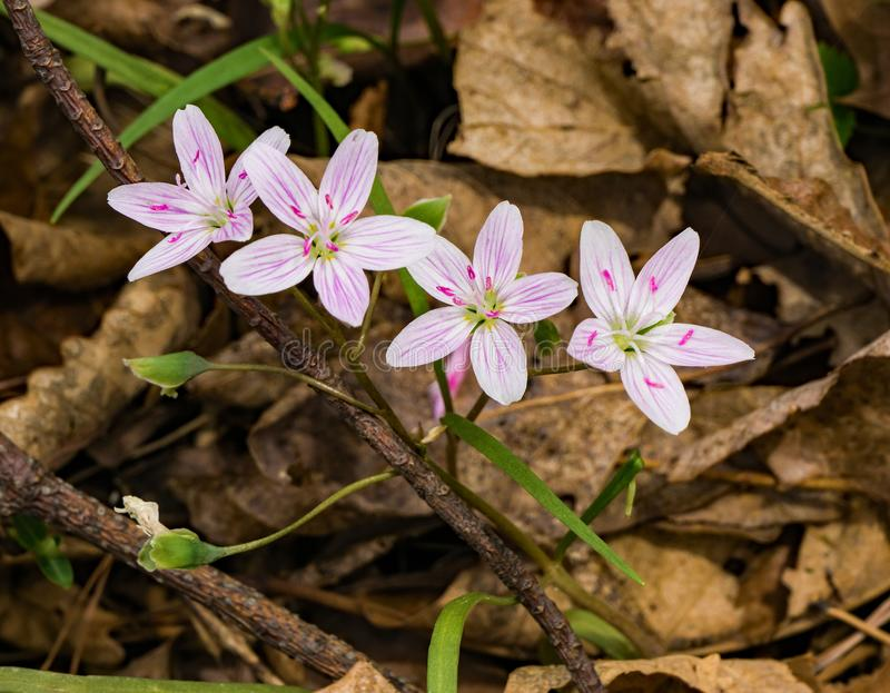 Group of Spring Beauties Wildflowers - Claytonia virginica. Spring beauties are small low-growing wildflowers that are found in a star-like cluster of five white royalty free stock photo