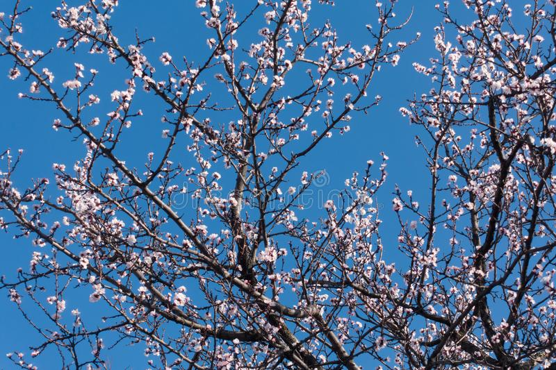 Spring. Beautiful blooming apricot tree and blue clear sky. stock images