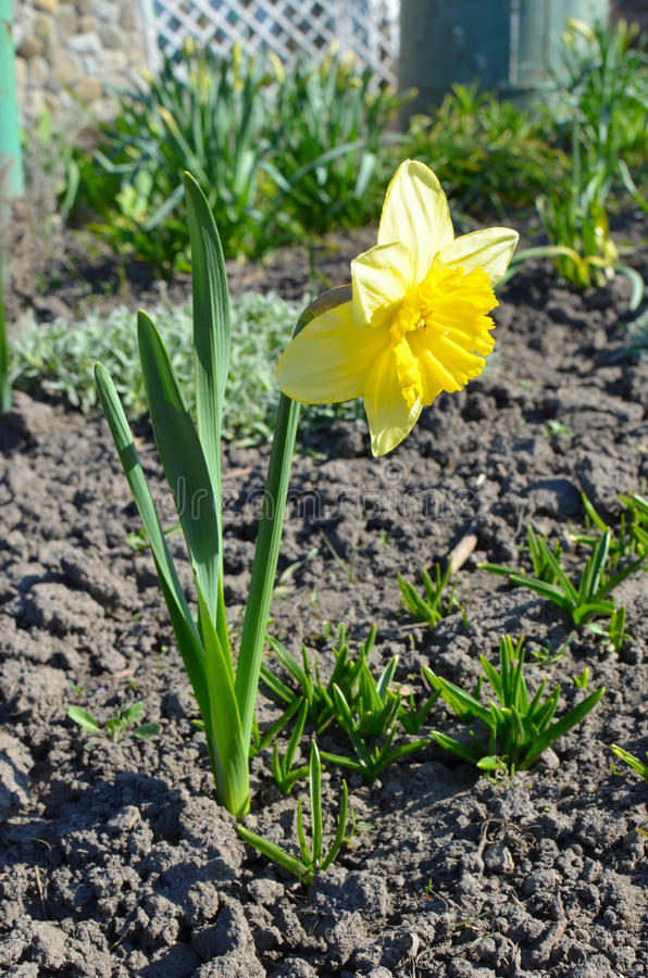 Spring beautiful narcissus royalty free stock photos