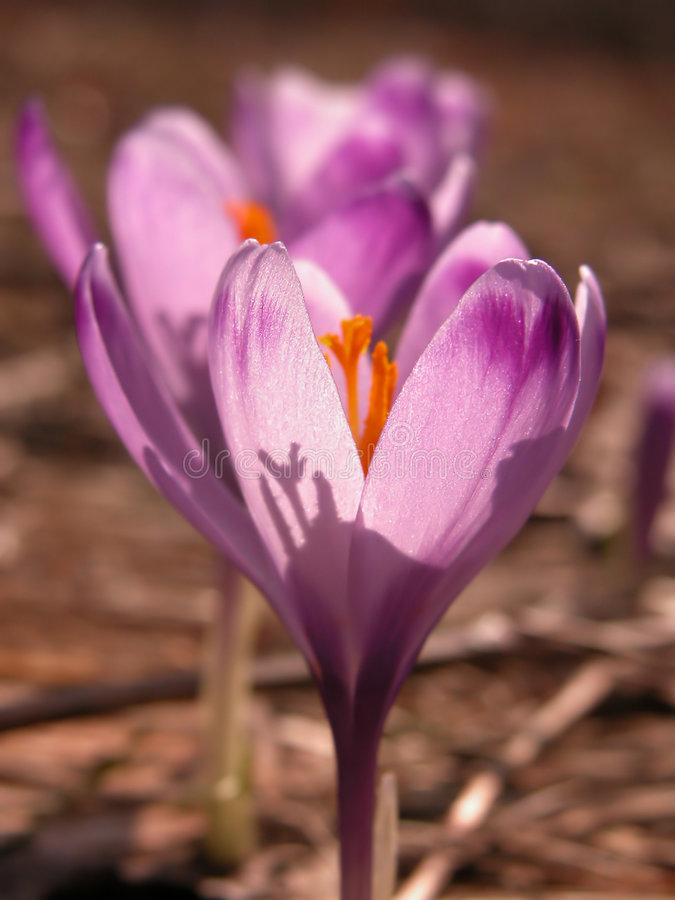 Spring beauty royalty free stock photography