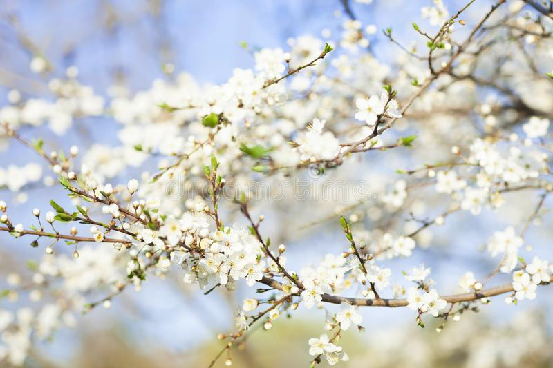 Spring beauty background blooming white flowers of trees stock download spring beauty background blooming white flowers of trees stock photo image of copy mightylinksfo