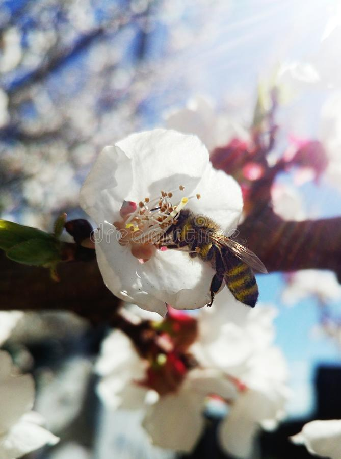 Spring bee stock photos