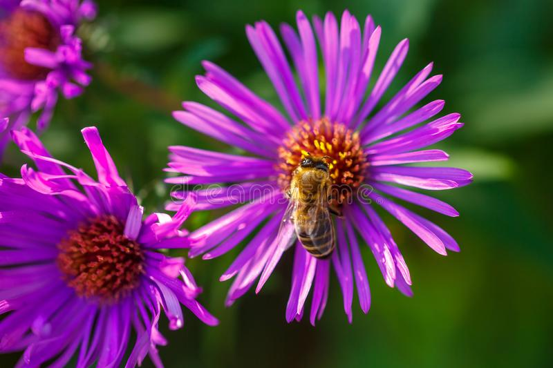 In spring, a bee on a lilac flower collects nectar royalty free stock photography
