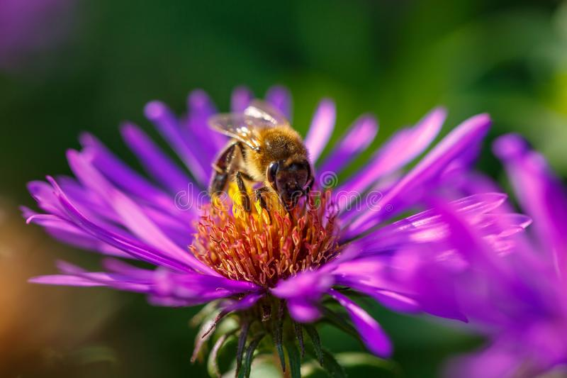 In spring, a bee on a lilac flower collects nectar royalty free stock photos