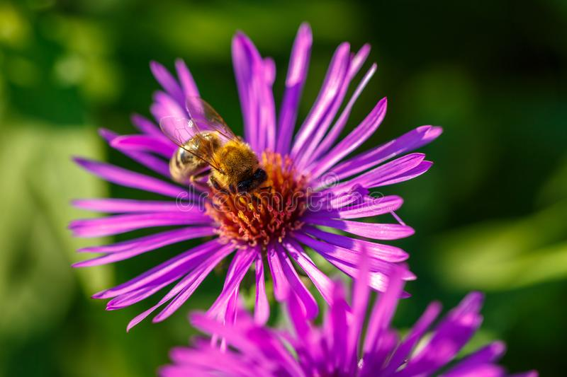 In spring, a bee on a lilac flower collects nectar stock images