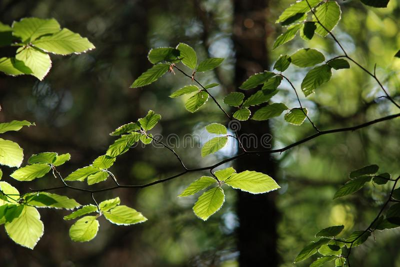 Spring in beech Forest royalty free stock photo