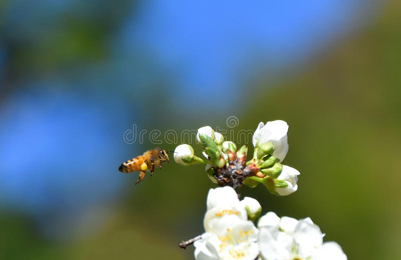 Spring Bees Pollinating. Bees pollinating white fruit flowers stock images