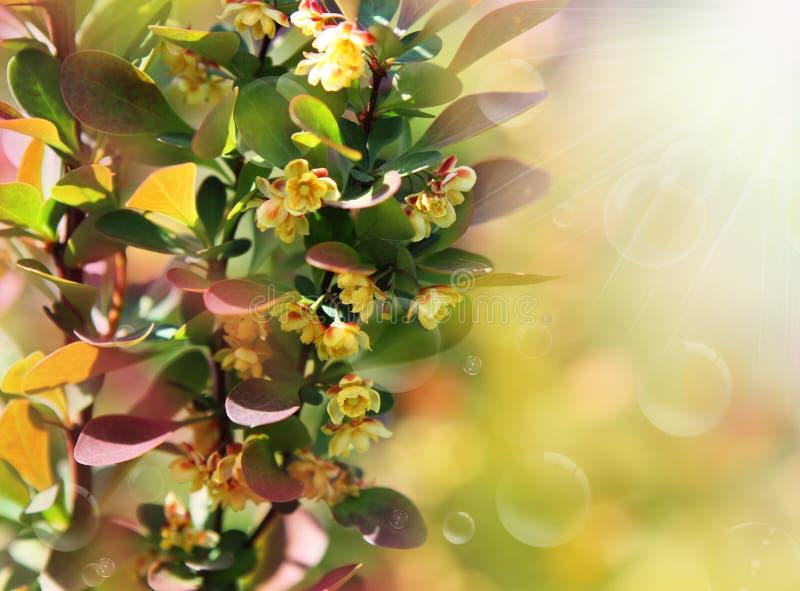 Spring Berberis Ottawensis Supera. Berberis ottawensis supera's blossoming bush. Spring stock photography