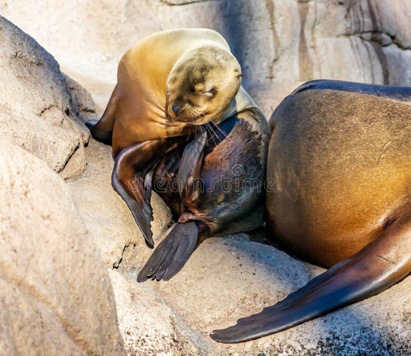 Seal baby at Bronx Zoo stock photography