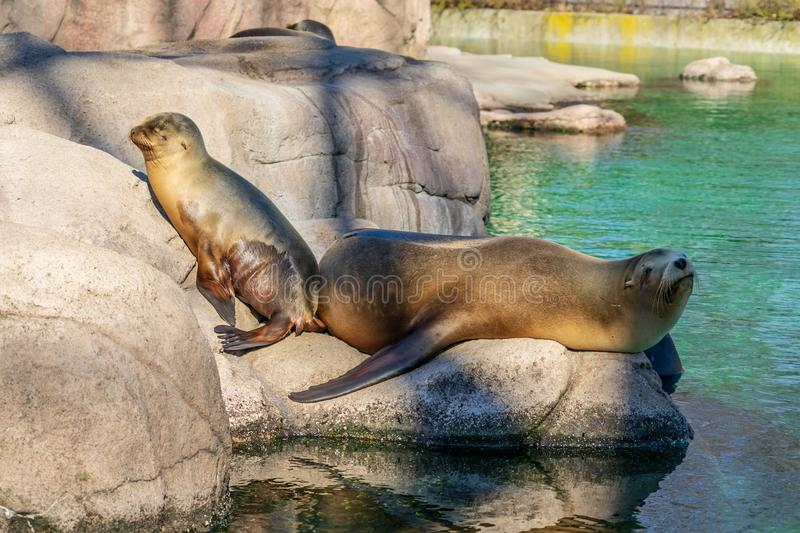 Seal family at Bronx Zoo royalty free stock images