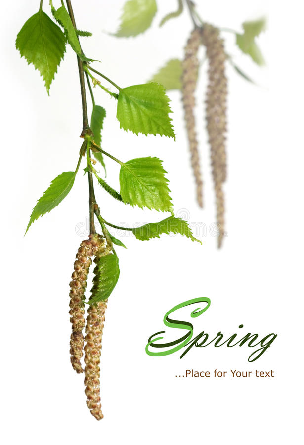 Spring Birch. Branch isolated on white royalty free stock photo
