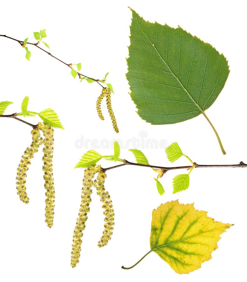 Spring birch branches with catkins, green summer and yellow autumn leaf isolated on white. Background royalty free stock photos