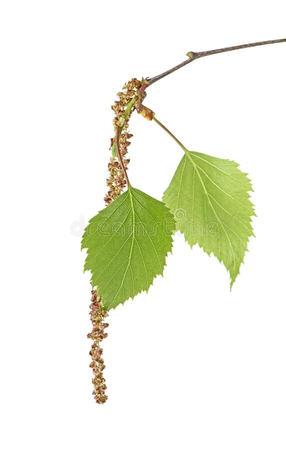 Spring birch buds isolated on white background. Spring birch buds isolated on a white background royalty free stock photography