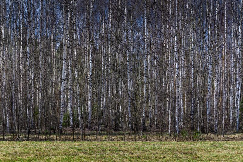 Spring birch forest stock photo