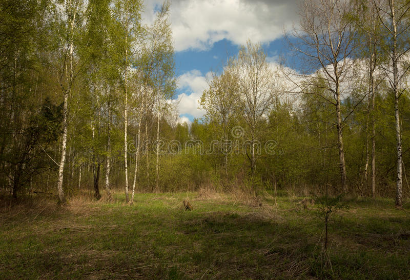 Spring in birch forest stock photo