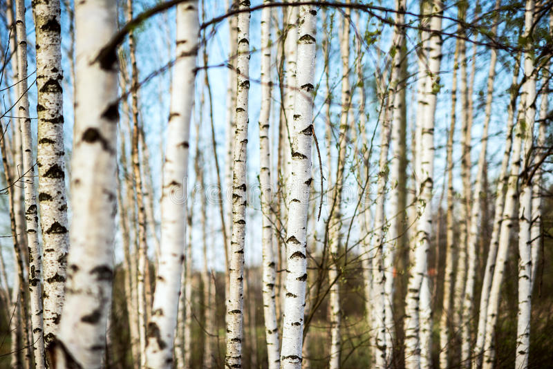 Download Spring birch forest stock photo. Image of rural, season - 85716326