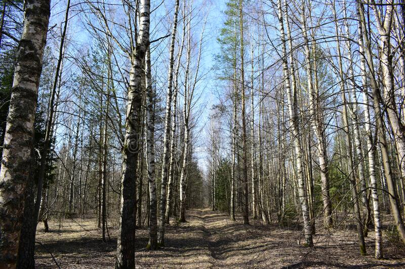 Spring in a birch grove. Nature has awakened from the winter calm and now everything is alive and pleasing. To the eye stock photography
