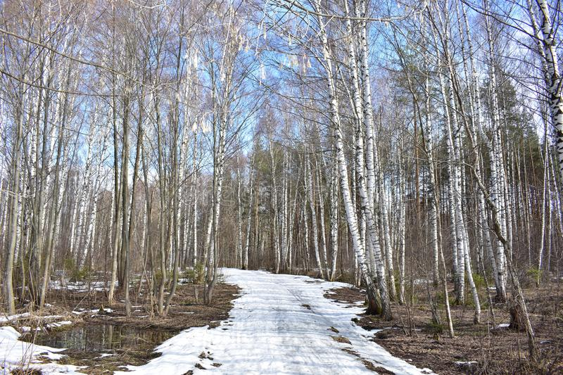 Spring birch grove snow melts murmuring streams the remains of an icy road. Snow color birch predetermined by the fact that in the tissue cells of the cortex stock image